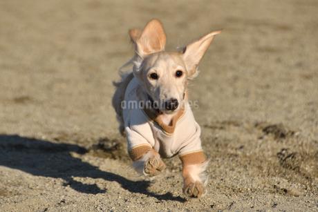 走る犬の写真素材 [FYI04307731]