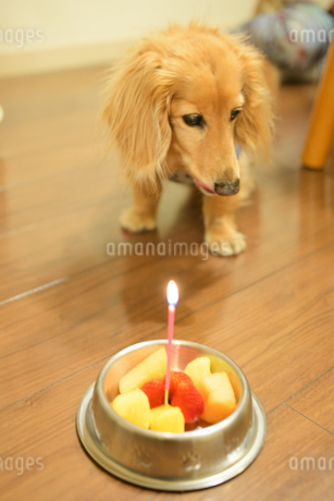 犬の誕生日の写真素材 [FYI04307732]