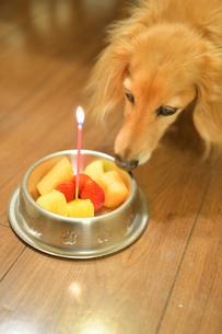 犬の誕生日の写真素材 [FYI04307733]