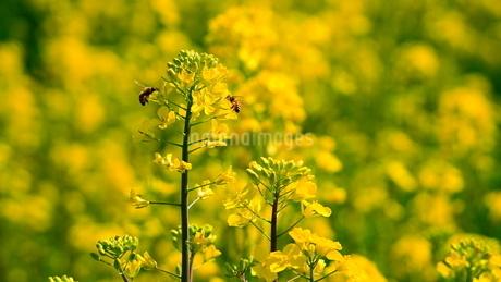 菜の花 ミツバチの写真素材 [FYI04307765]