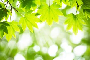 新緑の中の美しい光の写真素材 [FYI04307774]