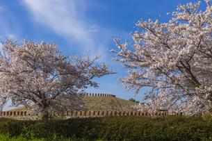 あかね古墳公園の桜 の写真素材 [FYI04307849]