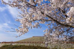 あかね古墳公園の桜 の写真素材 [FYI04307856]
