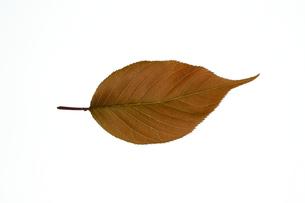 八重桜 葉 白背景の写真素材 [FYI04307898]
