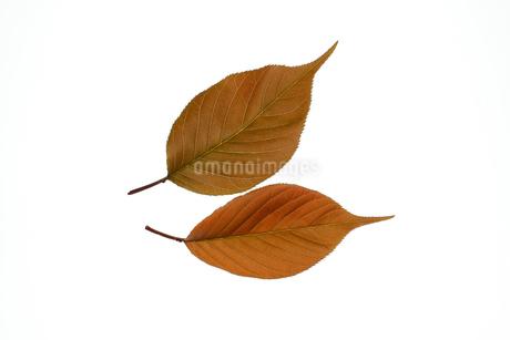 八重桜 葉 白背景の写真素材 [FYI04307899]