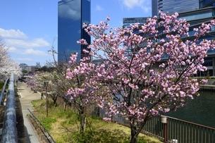 大阪城公園から満開の桜と大阪ビジネスパークの写真素材 [FYI04307964]