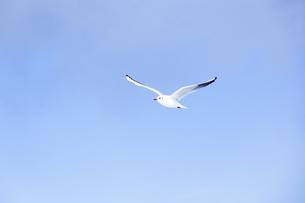 優雅に大空を飛ぶ白いカモメ オーストリアの写真素材 [FYI04308039]