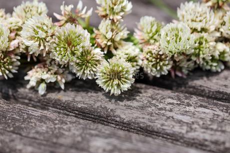 白爪草の花冠の写真素材 [FYI04308133]