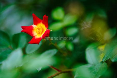 赤い花の写真素材 [FYI04308147]