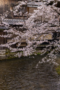 木屋町高瀬川の桜の写真素材 [FYI04308204]