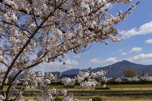 賀茂川の桜並木と比叡山の写真素材 [FYI04308216]