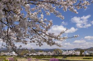賀茂川の桜並木の写真素材 [FYI04308217]