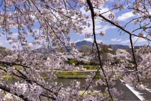 賀茂川の桜並木と比叡山の写真素材 [FYI04308219]