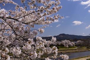 賀茂川の桜並木と大文字山の写真素材 [FYI04308220]