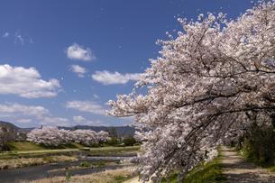 賀茂川の桜並木の写真素材 [FYI04308222]