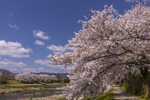 賀茂川の桜並木の写真素材 [FYI04308223]