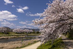賀茂川の桜並木の写真素材 [FYI04308224]