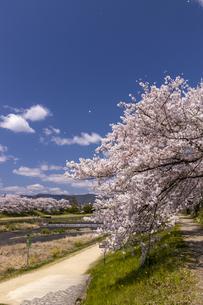 賀茂川の桜並木の写真素材 [FYI04308225]