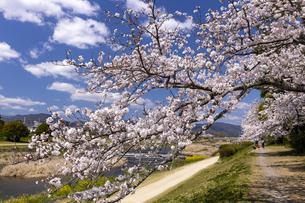 賀茂川の桜並木の写真素材 [FYI04308226]