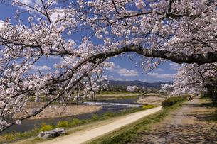 賀茂川の桜並木の写真素材 [FYI04308228]