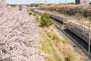 満開の桜並木とすれ違う京成成田スカイアクセス特急と普通列車 白井駅~小室駅の写真素材 [FYI04308376]