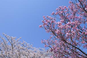 青空と八重桜の写真素材 [FYI04308392]