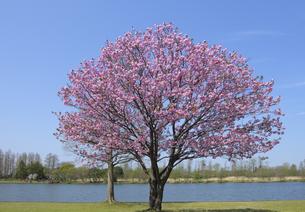 みさと公園の八重桜の写真素材 [FYI04308393]