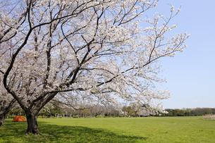 水元公園の緑地の広場と満開の桜の写真素材 [FYI04308398]