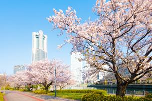 横浜汽車道の桜の写真素材 [FYI04308410]