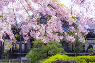 妙満寺の大書院としだれ桜の写真素材 [FYI04308564]