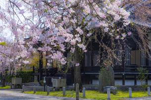 妙満寺の大書院としだれ桜の写真素材 [FYI04308565]