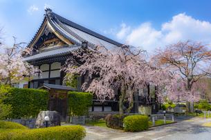 妙満寺の大書院としだれ桜の写真素材 [FYI04308567]