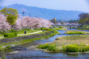 桜咲く春の賀茂川の写真素材 [FYI04308568]