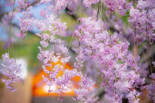 上賀茂神社のみあれ桜の写真素材 [FYI04308571]