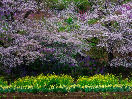 中後閑の桜並木、群馬県の写真素材 [FYI04308729]