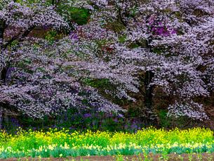 中後閑の桜並木、日本群馬県安中市の写真素材 [FYI04308731]