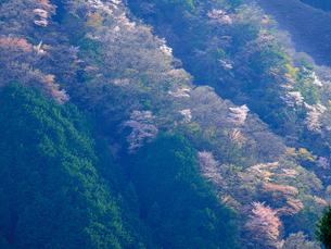 山桜、日本東京都あきる野市の写真素材 [FYI04308743]