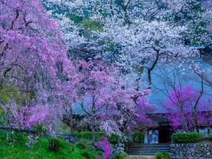 龍珠院の桜、日本東京都あきる野市の写真素材 [FYI04308745]