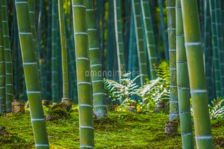 京都・嵐山の竹林の写真素材 [FYI04308793]