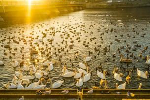 ストックホルム・リラ湖の白鳥郡の写真素材 [FYI04308920]