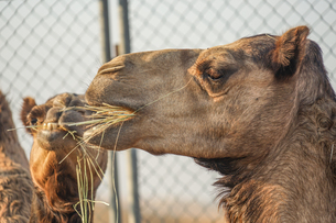 アラビア砂漠のラクダ(アラブ首長国連邦)の写真素材 [FYI04308929]