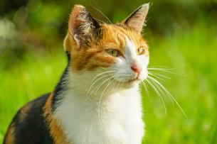 草原に佇む三毛猫の写真素材 [FYI04308934]
