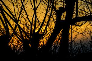 夕暮れと樹木のシルエットの写真素材 [FYI04308940]