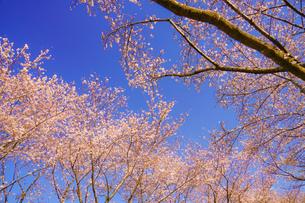 満開の桜と晴天の青空(調布飛行場)の写真素材 [FYI04308943]