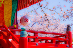 孝道山の桜(神奈川県横浜市)の写真素材 [FYI04308988]