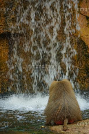 シンガポール動物園のマントヒヒのイメージの写真素材 [FYI04309007]