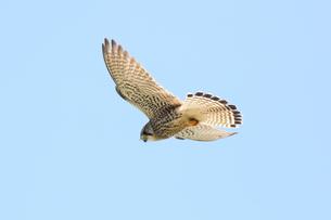 ホバリングして獲物を狙うチョウゲンボウの写真素材 [FYI04309016]