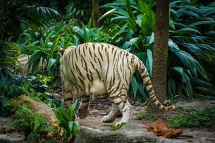 ジャングルに佇むホワイトタイガーの写真素材 [FYI04309074]