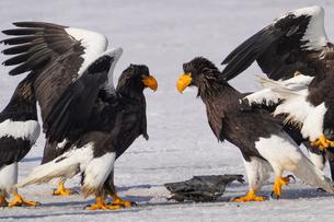 大鷲の争いの写真素材 [FYI04309104]