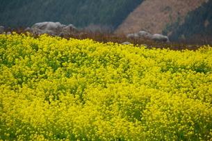 菜の花の写真素材 [FYI04309208]